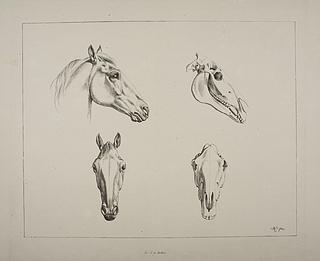 Heste hoveder. Heste kranier