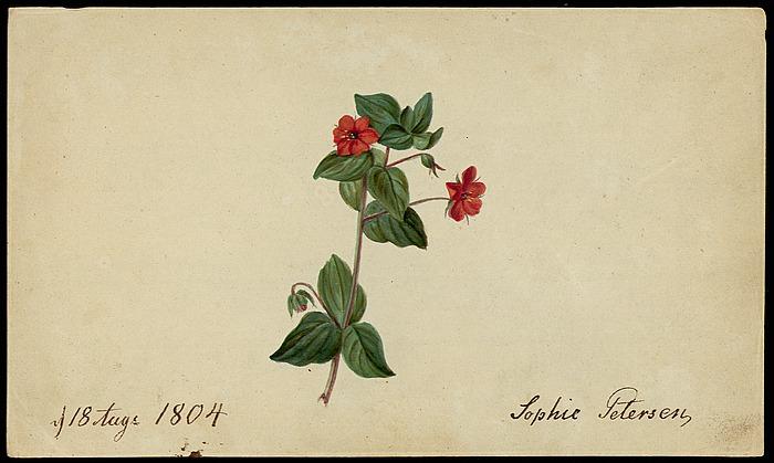 Rød arve (pimpernel)